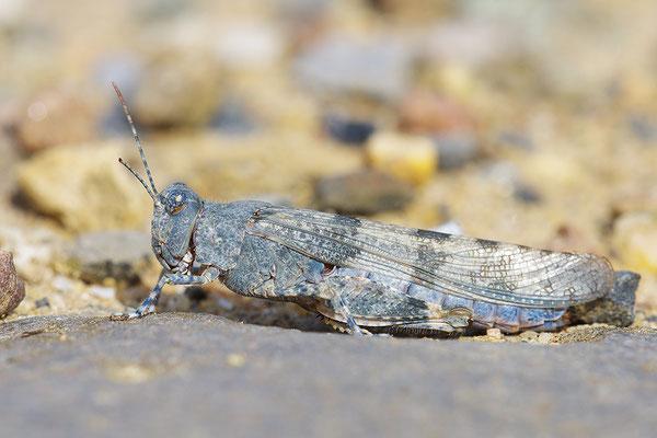 Blauflügelsandschrecke
