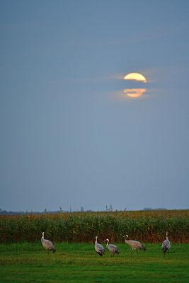 Kraniche vor dem Mond