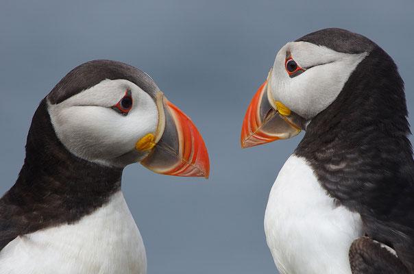 Papageitaucher Paar bei der Balz