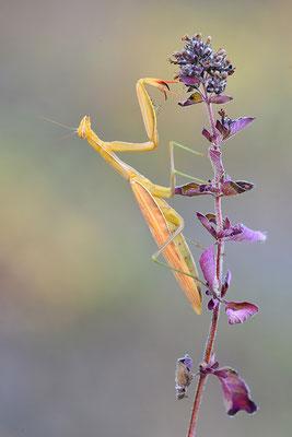 Gottesanbeterin Weibchen