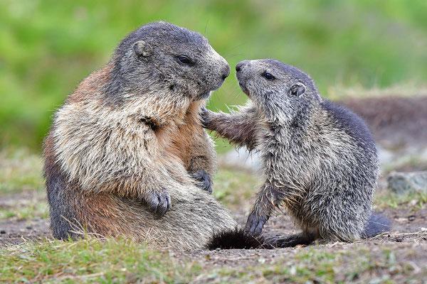 Murmeltiere Mutter mit Jungem