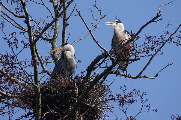 Graureiher Paar am Nest