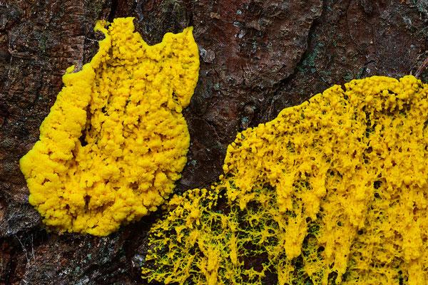 Hexenbutter oder auch Gelbe Lohblüte