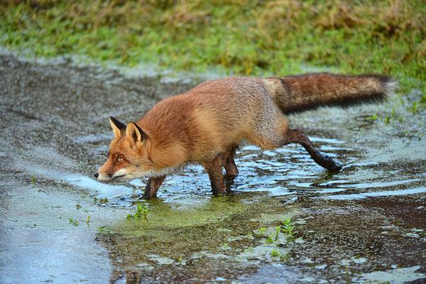 Fuchs im Wasser