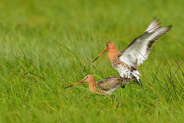 Uferschnepfe Paarung