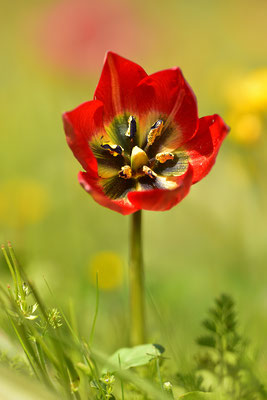 Rote Kretische Tulpe