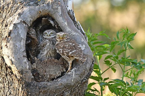 Steinkauz Altvogel mit Jungvogel