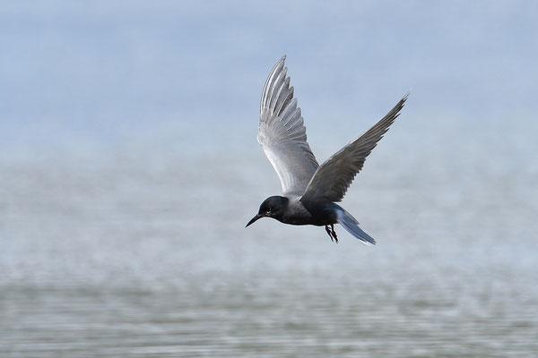 Trauerseeschwalbe im Flug