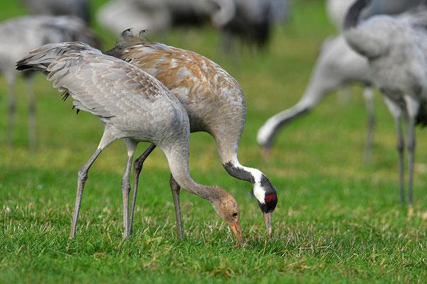 Kranich Altvogel füttert Jungvogel