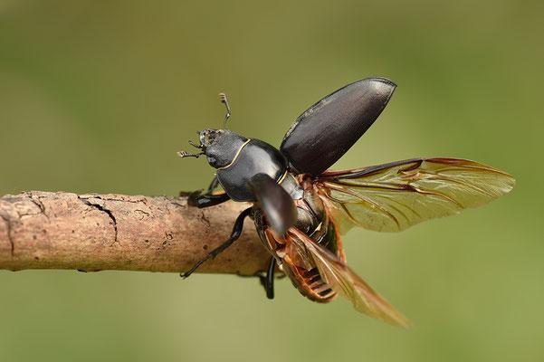 Hirschkäfer Weibchen abfliegend