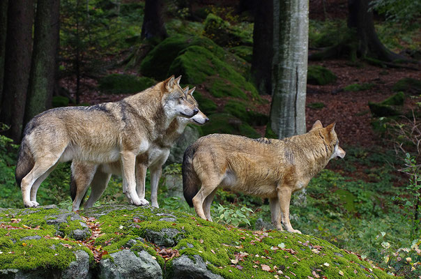 Wölfe, Nationalpark Bayrischer Wald Tierfreigelände Neuschönau