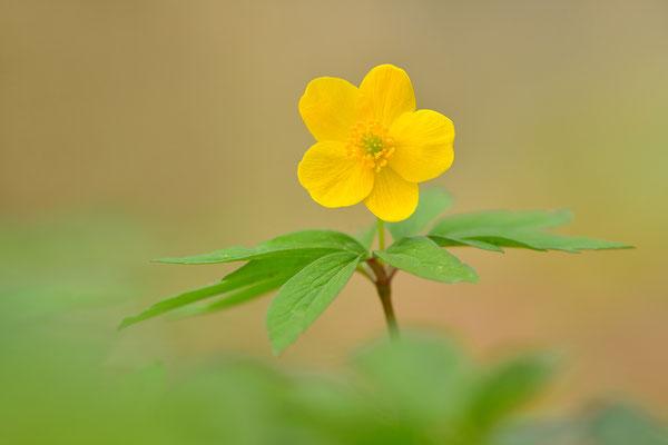 Gelbes Buschwindröschen