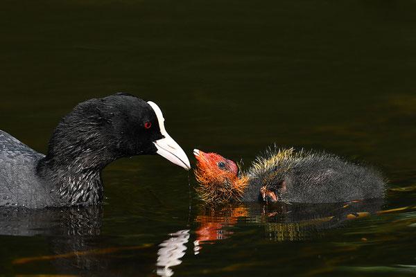 Blässralle Jungvogel bei der Fütterung