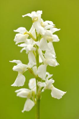 Mannsknabenkraut Albino, weiße Farbvariante