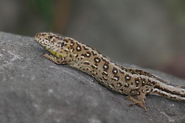 Zauneidechse Weibchen