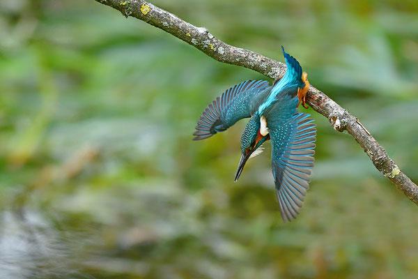 Eisvogel Weibchen beim Beutefang