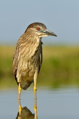 V Jungvogel