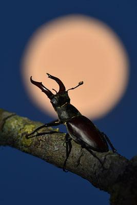 Hirschkäfer vor dem Mond