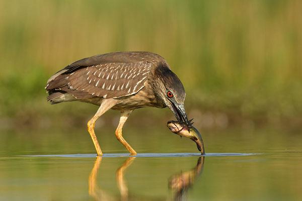 Nachtreiher Jungvogel mit Fisch