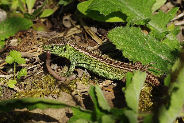 Zauneidechse Männchen mit Wurm