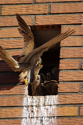 Turmfalke Weibchen mit Jungen am Nest