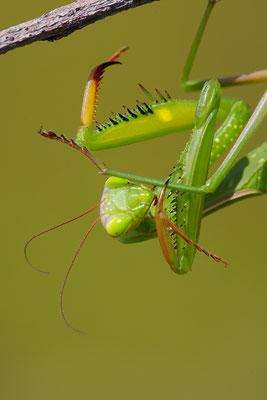 Gottesanbeterin Weibchen putzend