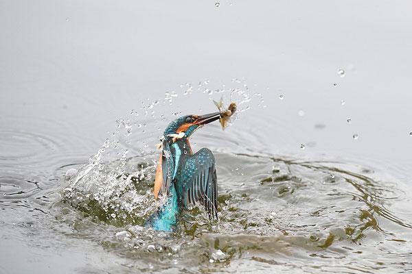 Eisvogel beim Beutefang