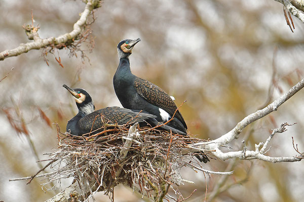 Kormorane am Nest