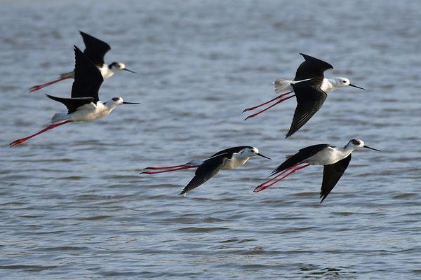 Stelzenläufer fliegend