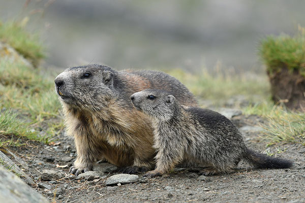 Murmeltier Muttertier mit Jungem