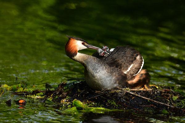 Haubentaucher mit Jungvogel am Nest