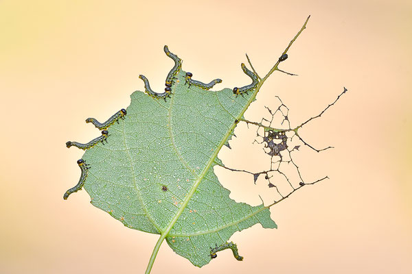 Larven der Blattwespe