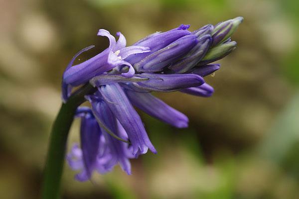Hasenglöckchen Blütenstand
