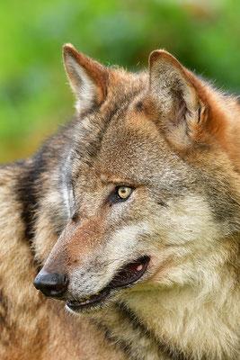 Wolf Kopfportrait, Nationalpark Bayrischer Wald Tierfreigelände Neuschönau