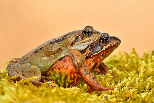 Grasfrosch Paar