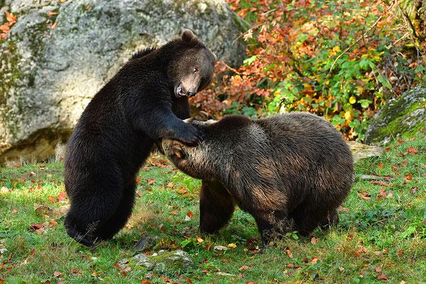Braunbären beim Spielen, Nationalpark Bayrischer Wald Tierfreigelände Neuschönau