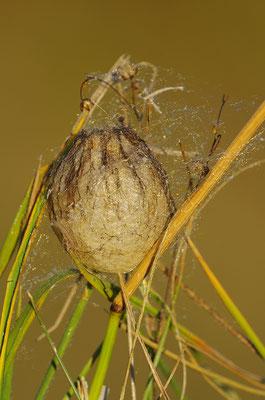 Wespenspinne Eikokon