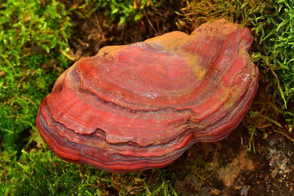 Rotrandiger Baumschwamm