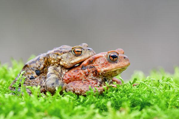 Erdkröte Paar rot