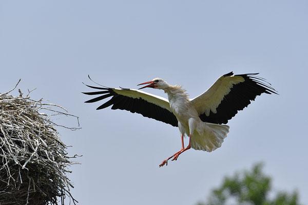 Weißstorch am Nest