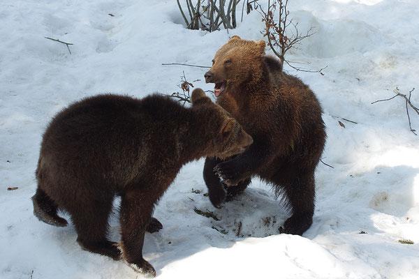 Braunbär Paar, Nationalpark Bayrischer Wald Tierfreigelände Neuschönau
