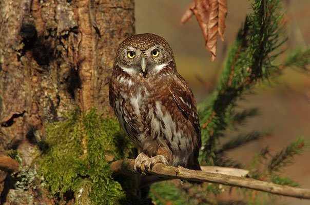 Sperlingskauz, Nationalpark Bayrischer Wald Tierfreigelände Neuschönau