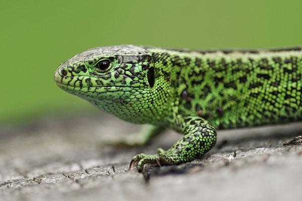 Zauneidechse Männchen Kopfportrait