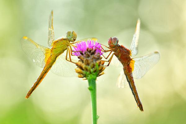 Feuerlibelle Paar