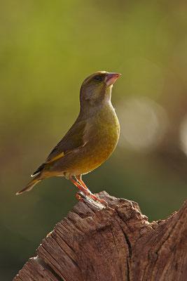 Grünfink Männchen