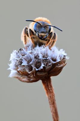 Wildbiene