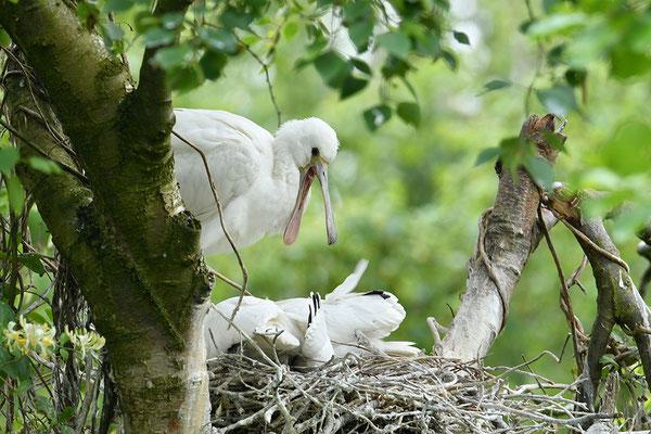 Löffler Jungvögel am Nest