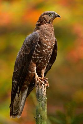 Wespenbussard, Nationalpark Bayrischer Wald Tierfreigelände Neuschönau