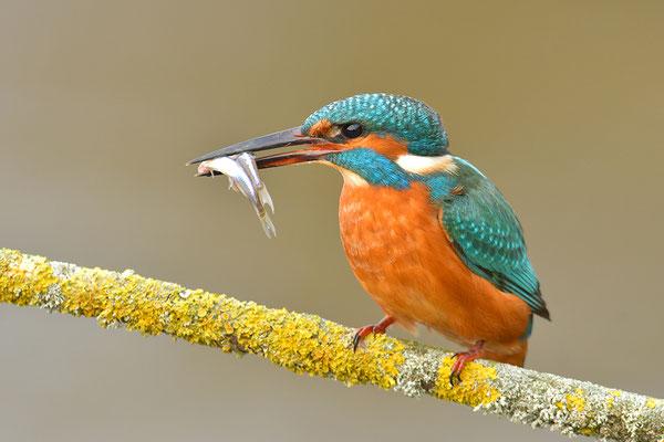 Eisvogel mit Fischen