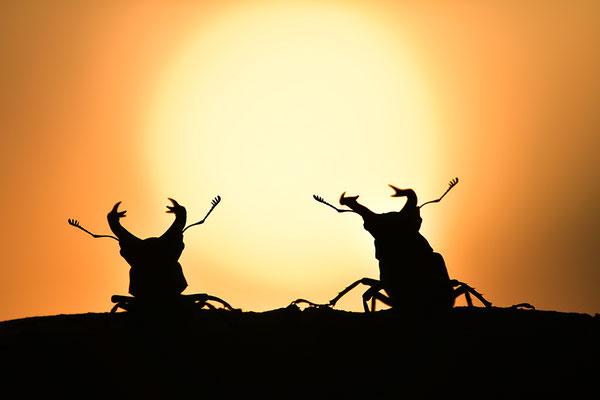 Hirschkäfer Männchen im Abendlicht